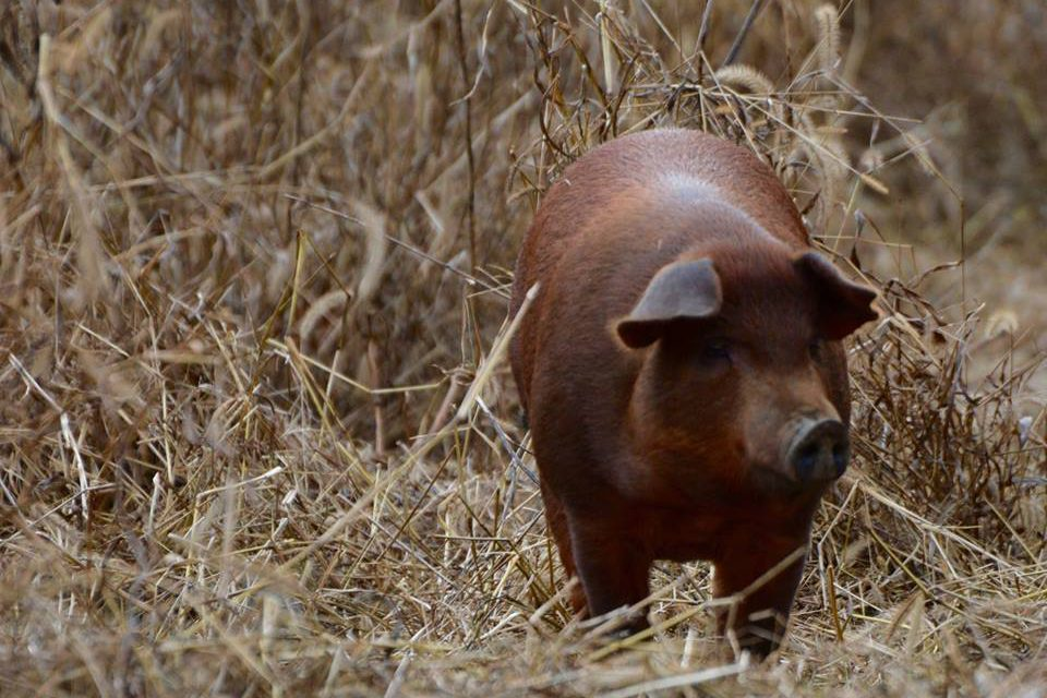 http://www.onehealthag.com/wp-content/uploads/2018/02/Brown-Boar-farms1-e1519398653417.jpg